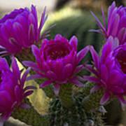 Cacti Flower Bouquet  Poster