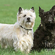 Cairn Terrier And Scottish Terrier Poster