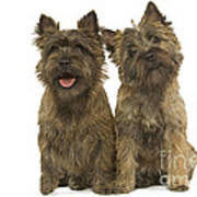 Cairn Terriers Poster