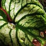 Caladium Leaf After Rain Poster