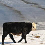 Calf Poster