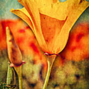 California Poppy Poster by Pam Vick