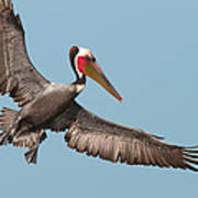 California Brown Pelican With Stretched Wings Poster