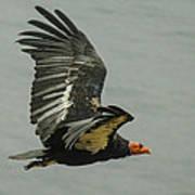 California Condor At Big Sur Poster