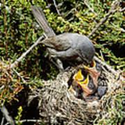 California Gnatcatcher Feeding Young Poster