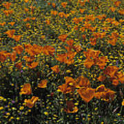 California Gold Poppies Poster