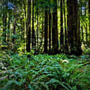 California - Muir Woods 007 Poster