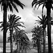 California Palms - Black And White Poster