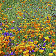 California Poppies And Desert Blubells Poster