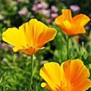 California Poppies In October Poster