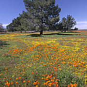 California Poppy And Eriophyllum Poster