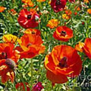 California Poppy's Poster