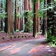 California Redwoods 3 Poster