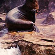 California Sea Lion Raising A Flipper Poster by Anna Lisa Yoder
