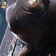 California Sea Lion Poster