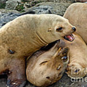 California Sea Lions Poster