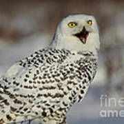 Call Of The North - Snowy Owl Poster by Inspired Nature Photography Fine Art Photography