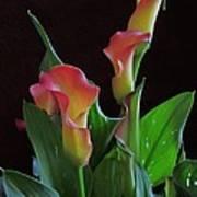 Calla Lilies 2  Poster