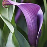 Calla Lily In Purple Ombre Poster