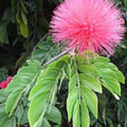 Calliandra Blossom Poster