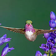 Calliope Hummingbird Stellula Calliope Poster