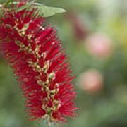 Callistemon Citrinus - Crimson Bottlebrush Poster