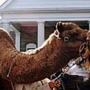 Camel Portrait Poster
