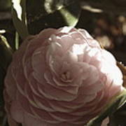 Camellia 2 Poster