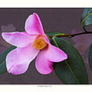 Camellia 'tulip Time' Poster