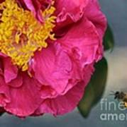 Camellia With Bee Poster