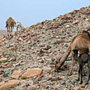 Camels At The Israel Desert -1 Poster
