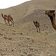 Camels At The Israel Desert -2 Poster