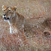 Camouflaged Female Lion In Grass Poster