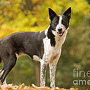 Canaan Dog Poster