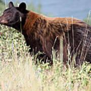Canada Black Bear Poster by Carolyn Ardolino