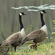 Canada Geese 274 Poster