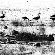 Canada Geese In Black And White Poster