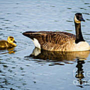 Canada Goose And Gosling Poster