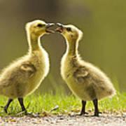 Canada Goose Babies Poster