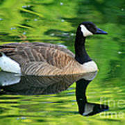 Canada Goose On Green Pond Poster