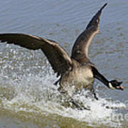 Canada Goose Touchdown Poster