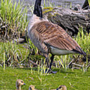 Canada Goose With Young Poster
