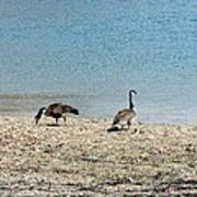 Canadian Geese 2 Poster