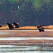 Canadian Geese In Flight Poster