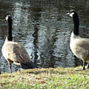 Canadian Geese On Spaulding Pond Poster