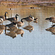Canadian Geese Stop Over Poster
