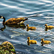 Canadian Goose And Goslings Poster