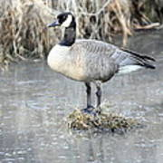 Canadian Goose Standing On A Bog In A Swamp. Poster