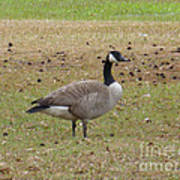 Canadian Goose Strutting  Poster