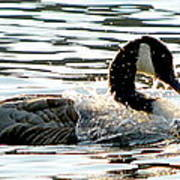 Canadian Goose Wash Poster